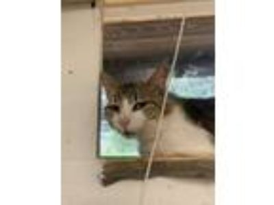Adopt Dylan a Domestic Short Hair
