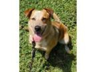 Adopt Chrissy a Beagle, Australian Cattle Dog / Blue Heeler