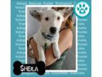 Adopt Sheila a White - with Black Australian Shepherd / Mixed dog in Kimberton