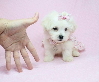 Maltese Puppies for Sale in Las Vegas! Financing and Shipping Available!