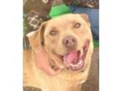 Adopt Grizzly a Tan/Yellow/Fawn Labrador Retriever / Mixed dog in Lancaster
