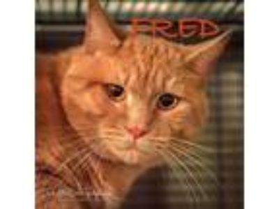 Adopt Fred a Orange or Red Tabby Domestic Shorthair / Mixed cat in Mooresville