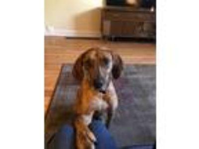 Adopt Brindle a Brindle Plott Hound / Mixed dog in Philadelphia, PA (24284182)