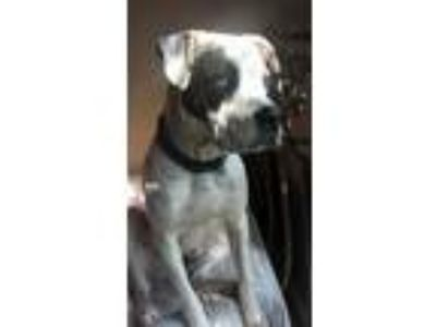 Adopt Diesel a White - with Brown or Chocolate Boxer / American Pit Bull Terrier