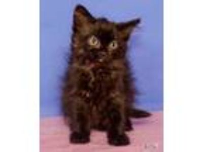 Adopt Blue a All Black Domestic Shorthair / Domestic Shorthair / Mixed cat in