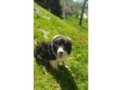 Adopt Quincy a Black - with White Australian Shepherd / Mixed dog in Oswego