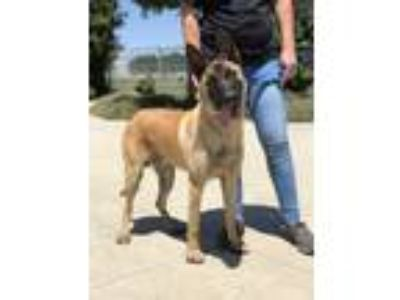 Adopt Captain a Tan/Yellow/Fawn - with Black Belgian Malinois / Mixed dog in