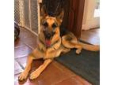 Adopt Monte a Black - with Tan, Yellow or Fawn German Shepherd Dog / Mixed dog