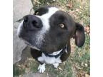 Adopt Rocky a Black - with White American Pit Bull Terrier / Mixed dog in Los