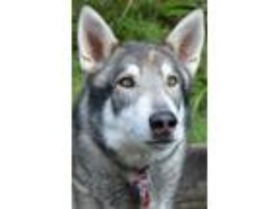 Adopt CARBON a Alaskan Malamute dog in Seattle, WA (21630470)