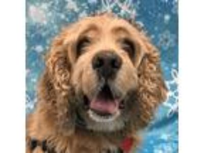 Adopt Teddy a Cocker Spaniel / Mixed dog in Newington, VA (23819289)