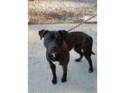 Adopt Bronco 336 a Pit Bull Terrier, Boxer