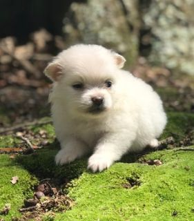 Pomeranian PUPPY FOR SALE ADN-88294 - Pomeranian