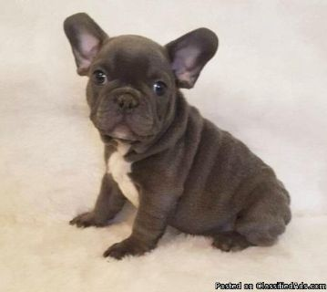 Timmas French Bulldog French bulldog puppies for adoption please contact via text or call for more details (530)-436