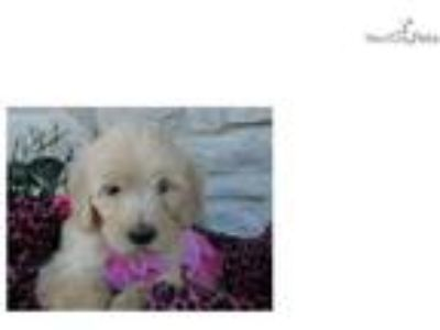 Taylor- Sweet Goldendoodle Puppy