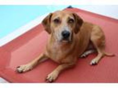 Adopt Quinn a Brown/Chocolate Catahoula Leopard Dog / Beagle / Mixed dog in