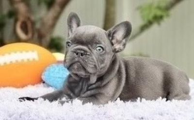 clever French bulldog puppies available
