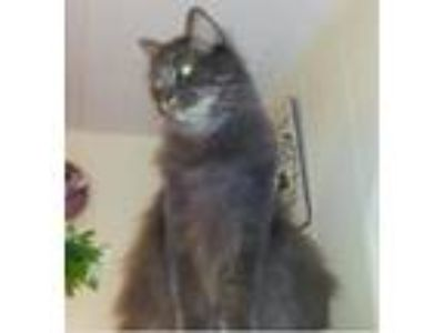 Adopt Buttons a Gray or Blue (Mostly) Maine Coon / Mixed (medium coat) cat in