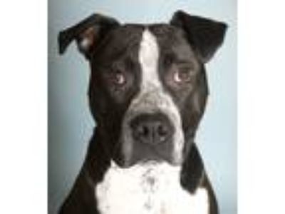 Adopt Bobby a Pit Bull Terrier, Pointer