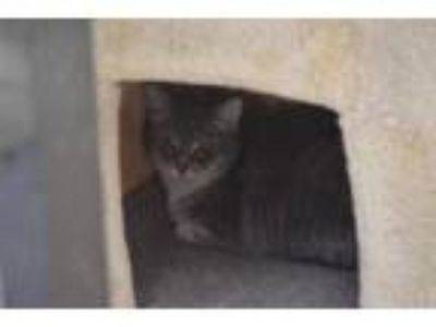 Adopt Shale a Domestic Short Hair