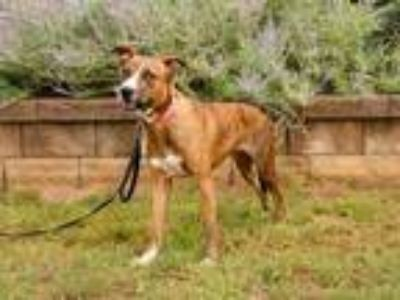 Adopt WENDY-FOSTER NEEDED a Brindle - with White Mountain Cur / Mixed dog in
