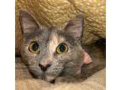 Adopt Shiloh a Tortoiseshell Domestic Shorthair cat in Wayne, IL (25945305)