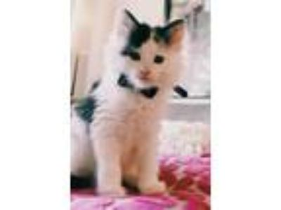 Adopt Sampson a Calico, Domestic Short Hair