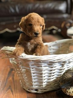 Poodle (Standard) PUPPY FOR SALE ADN-94217 - AKC Red Standard Poodle