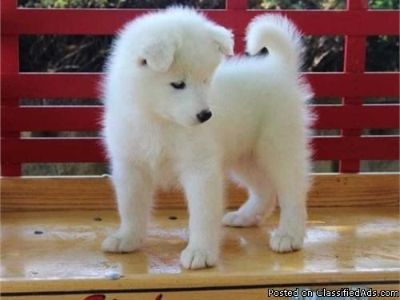 LOVELY M/F SAMOYED PUPPIES Available For Sale