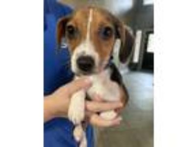 Adopt The Doctor a Beagle