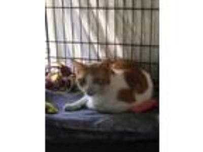 Adopt Sammy a Orange or Red Domestic Shorthair (short coat) cat in Riverside