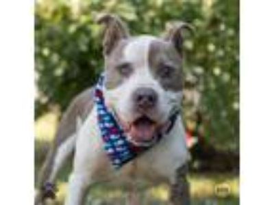 Adopt Fish Stix a American Pit Bull Terrier / Mixed dog in Richmond