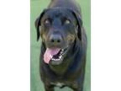 Adopt Bear-Diamond Dog $75 Adoption Fee a Catahoula Leopard Dog