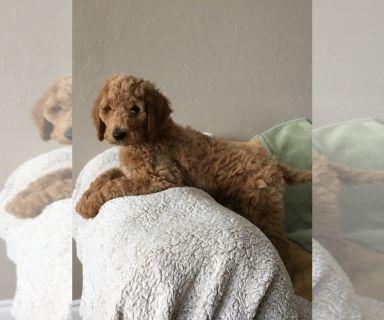 Poodle (Standard) PUPPY FOR SALE ADN-129983 - AKC Standard Poodle Pups