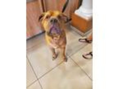 Adopt Ole Bubba a Brown/Chocolate Mixed Breed (Large) / Mixed dog in Land