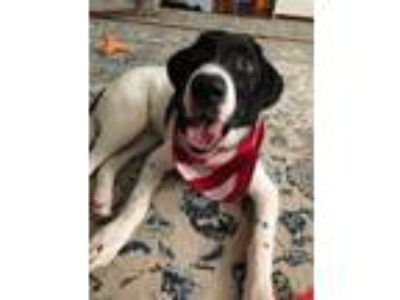 Adopt Jackson a Labrador Retriever, German Shorthaired Pointer