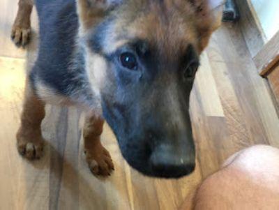German Shepherd Dog PUPPY FOR SALE ADN-96059 - German Shepherd puppies