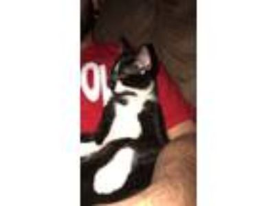 Adopt Salem a Black & White or Tuxedo Domestic Shorthair / Mixed cat in Wyoming