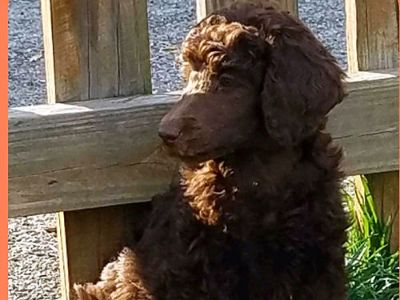 POODLE PUPPY AKC REG, ONE CHOCOLATE BOY ...