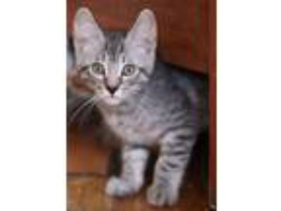Adopt Ranger a Domestic Short Hair, Tabby