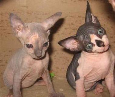 Hairless Sphynx Kittens For Sale