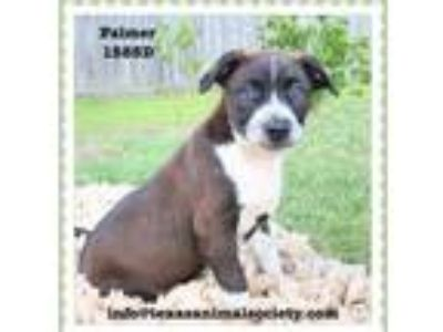 Adopt Palmer a Border Collie, Terrier