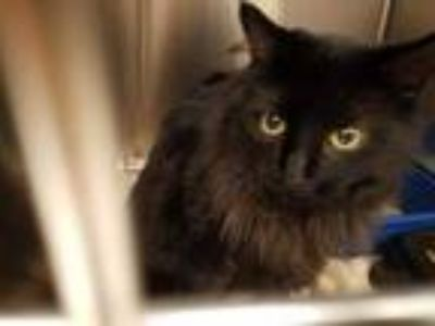 Adopt TANGYUAN a All Black Domestic Longhair / Mixed (long coat) cat in