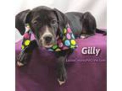 Adopt Gilly a Black - with White Labrador Retriever / American Pit Bull Terrier