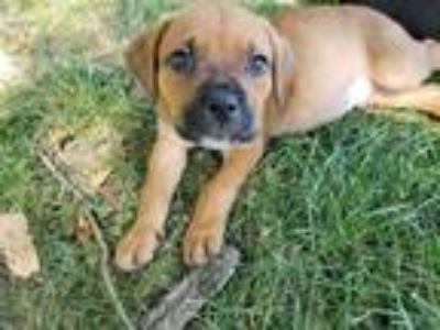 Adopt Delta a Red/Golden/Orange/Chestnut Boxer / Mixed dog in Mooresville