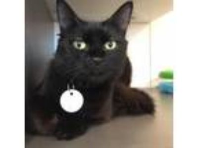 Adopt Penny a All Black Domestic Shorthair cat in New York City, NY (25581382)