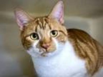 Adopt Chilli a Domestic Short Hair