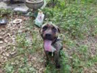 Adopt Pops a Brindle - with White Hound (Unknown Type) / Mixed dog in Fort