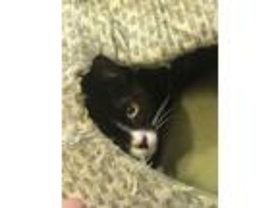 Adopt Amazing Anna a Black & White or Tuxedo American Shorthair (short coat) cat