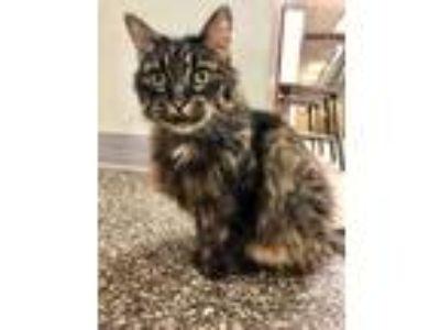 Adopt Girl a All Black Domestic Mediumhair / Domestic Shorthair / Mixed cat in